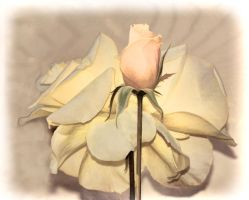 A rose is a rose by lakecarole