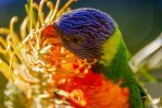 Rainbow Lorikeet feeding by jctartwork