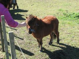 Animal Stock - Miniature Horse 2 by Spyderwitch
