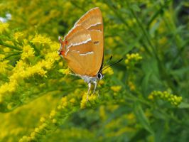 Brown Hairstreak by FabrykaImaginacji