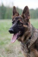 German shepherd by Indycola
