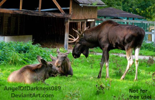 Moose Family - Alces alces by AngelOfDarkness089
