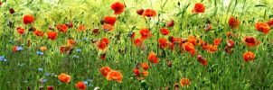 Poppies... by EternityRaven