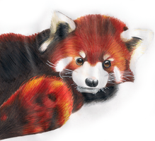 Red Panda by SonARTic