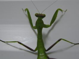 Mantis1 by Kutaly