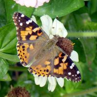 Painted Lady on Zinnia 2 by Daniel-Storm