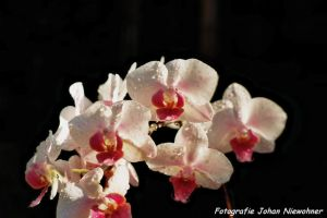 Wet orchid by jochniew