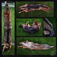 Melanistic Eastern Coyote by OfSoulandSin