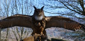 Eagle Owl with Wings Outstretched by Mararda