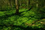 Wild Garlic Forest.. by Alz-Stock-and-Art