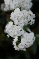 baby's breath by DramaQueenB