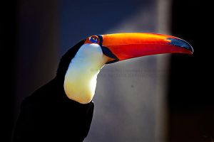 Toucan by Pale-Recluse