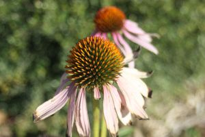 Cone Flowers by hope447