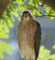 Cooper's Hawk by arcadian7