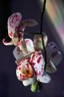 Orchid by Ex-zaria