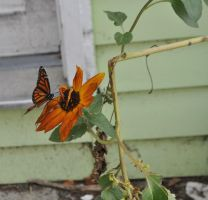 Monarch butterfly on a Sunflower by MireInHypocrisy