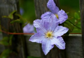 clematis is looking through the fence by runningbackandforth