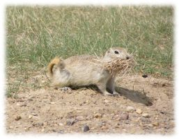 Gopher Encounter One by LittleDende