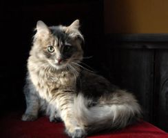 Domestic Longhair Grey/Cream Tiger - Piper by McrBlueOctober