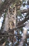 Long-eared Owl 2 by Alex-dan