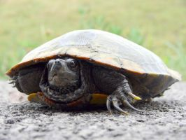 Turtle crossing the road by skilly007