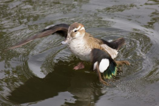 (Adorable) Female Ringed Teal by D-Maxey