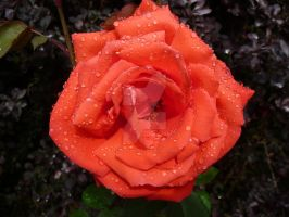 Orange Rose in the Rain by HorseyArtist