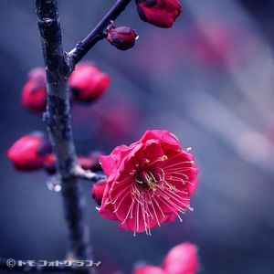 Japanese Apricot by WindyLife