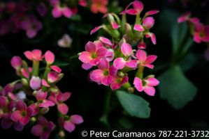 Pink flowers in december by Caramanos2000