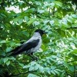 The hooded crow by LuciaConstantin