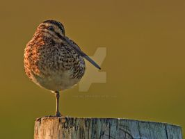 Night, night - Common Snipe by Jamie-MacArthur