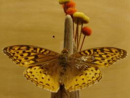 Atlantis Fritillary Butterfly by FantasyStock