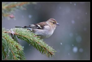 Christine the Chaffinch by MessiahKhan