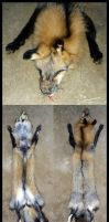 Ranched Cross Fox by Tricksters-Taxidermy