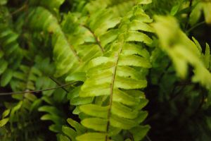 The Fern by hhjr