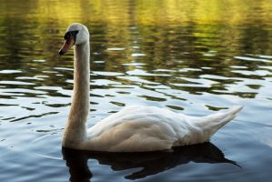 Swan 20120728-1 by FurLined