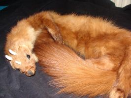 Pine marten curled up by Lot1rthylacine