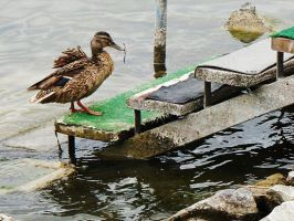 Duck in the stairs by MSzilvi95