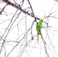parrot in the snowfall by lisztikriszti