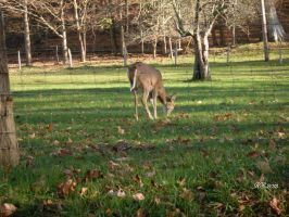 Whitetails for days 2 by Beatlesfan1994