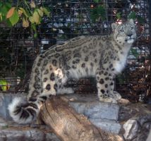 Denver Zoo 20 Snow Leopard by Falln-Stock