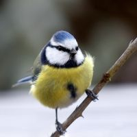 Blue Tit by dukefsc