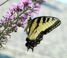 .E..Tiger.Swallowtail by duggiehoo