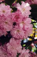 Pink cherry blossom.(3) by BloodyPentagram
