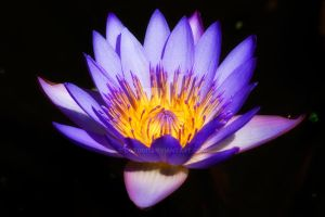Water Lily 03 by dgt0011