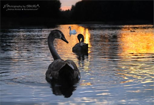 Swans from the series 1-4 ~ AStoKo by AStoKo