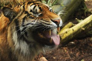 One eye of the tiger by aj-waster