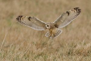 Hovering Short-eared Owl by Jamie-MacArthur