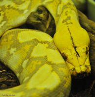 Albino Purple Retic by JayConstrictors12