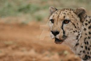 Bloody cheeta by Adastraa